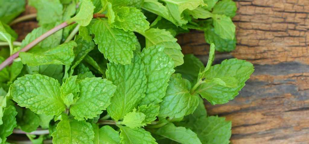 Can-Mint-Leaves-Help-Cure-Acne-Scars