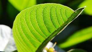 guava-leaf-e1468251323430