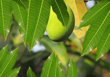 thumb-health-benefits-of-mango-leaves-stylenrich
