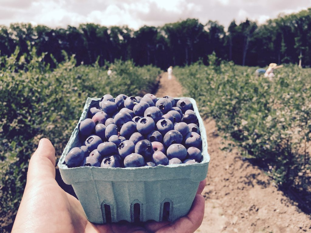 Blueberry Picking at New Jersey Pick Your Own Blueberry Farms DiMeo Farms