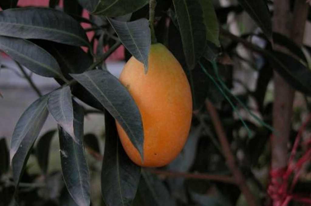 Health-Benefits-of-Fruit-Gandaria-Bouea-macrophylla