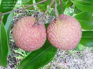Kwai-Mai-Pink-lychee