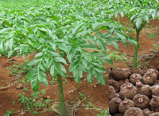 Elephant-Foot-Yam-Cultivation